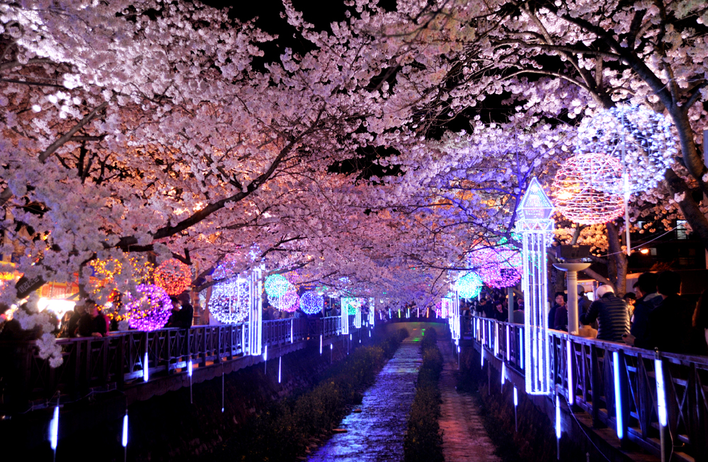 Opening of cherry blossom festival 'the 52nd Jinhae